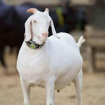 online qurbani bakra (goat)