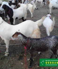 online qurbani bakra (goat) 3