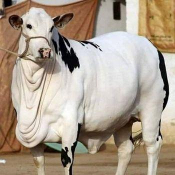 online qurbani cow (gaaye)