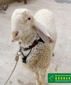online qurbani dumba (sheep) 2