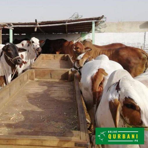 online qurbani gaaye (cow) 2