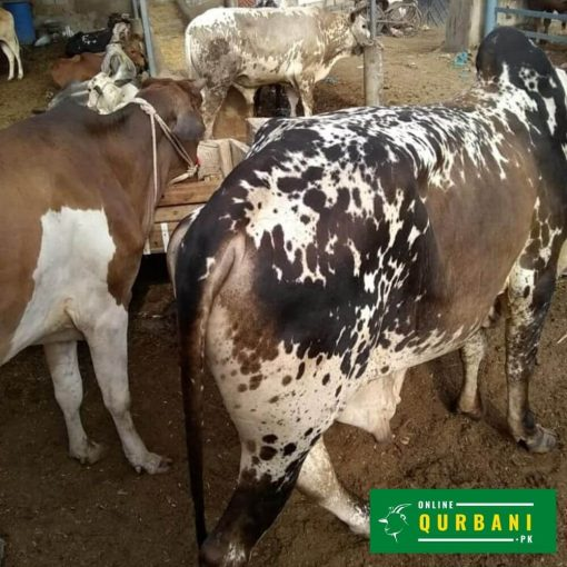 online qurbani gaaye (cow)